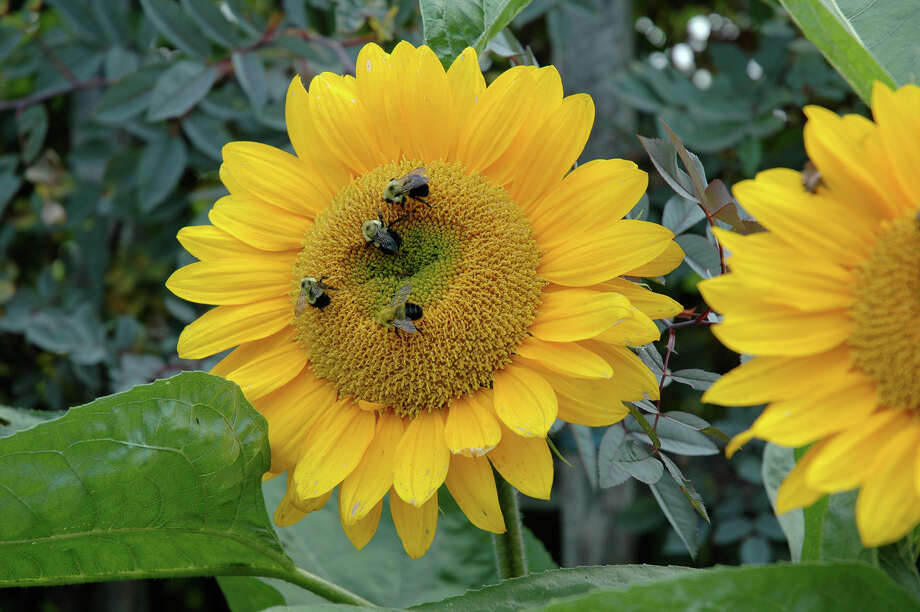 A love of sunflowers is a common ground that we have with bees. Photo: Barbara Damrosch /Washington Post / THE WASHINGTON POST