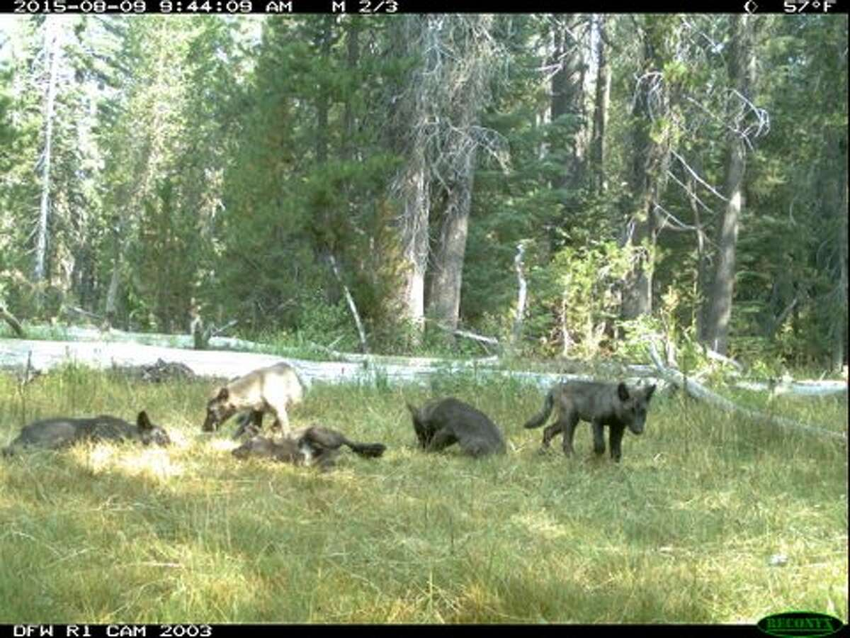 California Department of Fish and Wildlife released photo from motion-activated trail cameras of five wolfpups with a group of adults, providing more evidence that the endangered species was returning to the state.