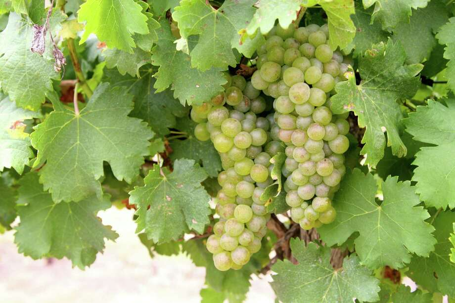 Viognier grapes from Brennan Vineyards. Photo: Courtesy Photo