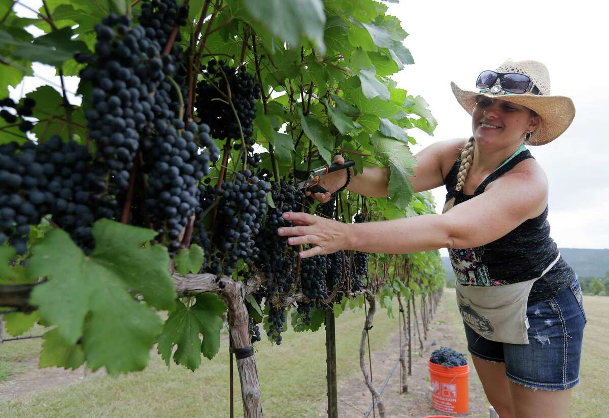 Rebecca Green of Tarkington Prairie, Texas, clips grapes of a vine at Lost Maples Winery at Polvadeau Vineyards in Vanderpool, Texas on Saturday, Aug. 8, 2015. The winery harvested their largest crop of lenoir grapes since the operation started in 2006. With a bevy of volunteers, owners Tom and Glenda Slaughter saw around 13 tons of grapes picked off the vines on land surrounded by hilltops and the Sabinal River. The winery produces five varieties of red wines and two white wines. Lost Maples Winery is the first commercial vineyard in Bandera County.