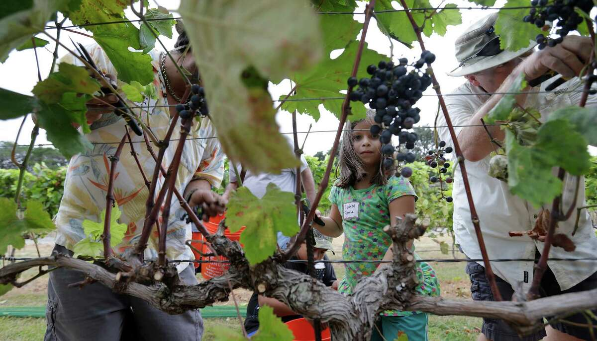 Even children like Sydney Sorola take part in harvesting grapes at Lost Maples Winery at Polvadeau Vineyards in Vanderpool, Texas, on Saturday, Aug. 8, 2015. The winery harvested their largest crop of Black Spanish/Lenior grapes since the operation started in 2006. With a bevy of volunteers, owners Tom and Glenda Slaughter saw around 13 tons of grapes picked off the vines on land surrounded by hilltops and the Sabinal River. The winery produces five varieties of red wines and two white wines. Lost Maples Winery is the first commercial vineyard in Bandera County.