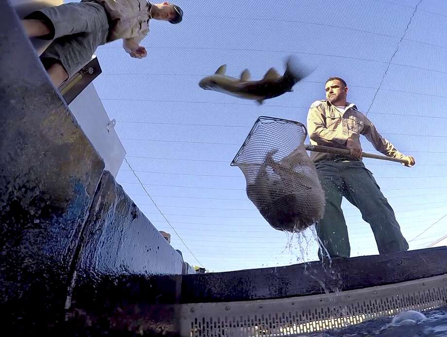 FILE - In this Aug. 12, 2015, file photo,  Mike Marty, of the California Fish and Wildlife Department, hoists a net full of splashing rainbow trout as one jumps back into the holding tank, at the San Joaquin Hatchery near Fresno, Calif. A new study says dying wildlife, bigger wildfires and drying-up farm towns will be the biggest crises if California's four-year drought continues. A report released overnight Wednesday to Thursday, Aug. 20, by the Public Policy Institute of California non-profit think-tank sketches that picture of California in 2016, and 2017, if the state's driest four years on record stretches into a fifth, or sixth, year of drought. (John Walker/The Fresno Bee via AP)   LOCAL PRINT OUT (VISALIA TIMES-DELTA, REEDY EXPONENT, KINGBURG RECORDER, SELMA ENTERPRISE, HANFORD SENTINEL, PORTERVILLE RECORDER, MADERA TRIBUNE, THE BUSINESS JOURNAL FRENSO); LOCAL TELEVISION OUT (KSEE24, KFSN30, KGE47, KMPH26); MANDATORY CREDIT Photo: John Walker, MBO / The Fresno Bee