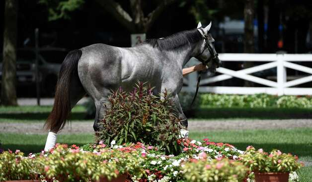 A horse is framed by the foliage in the paddock as he schools for trainer Christophe Clement  at the Saratoga Race course Thursday morning Aug. 20, 2015 after morning exercise  in Saratoga Springs, N.Y.    (Skip Dickstein/Times Union) Photo: SKIP DICKSTEIN