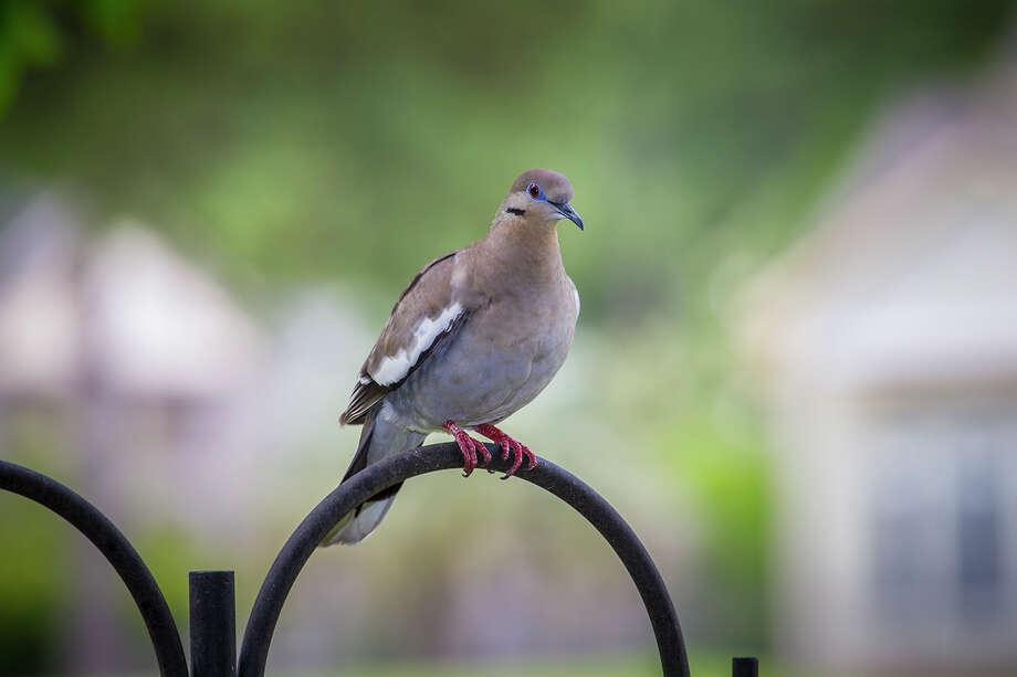 White-winged doves have moved northward and are crowding out other birds at backyard bird feeders.  Photo Credit:  Kathy Adams Clark.  Restricted use. Photo: Kathy Adams Clark / Kathy Adams Clark/KAC Productions