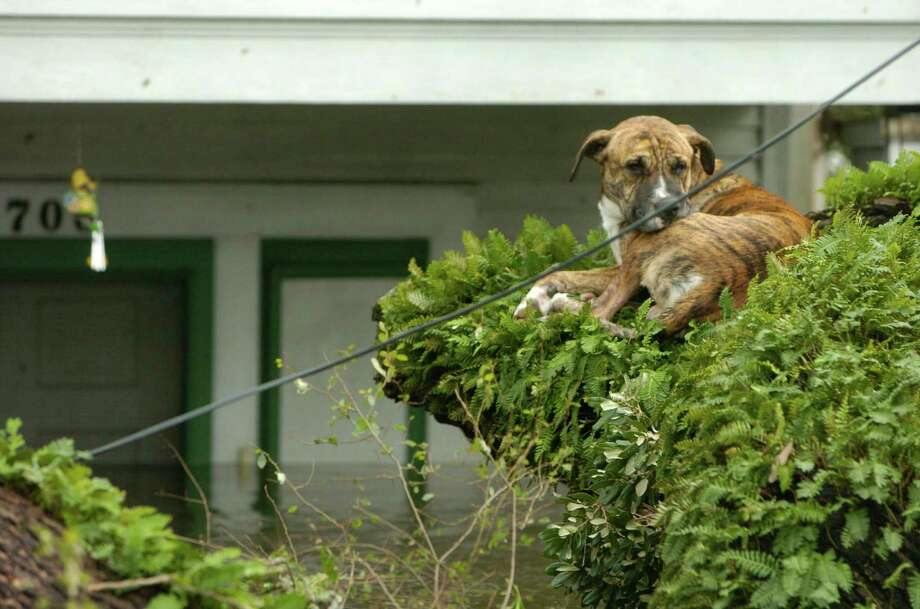 A dog sits in a tree among flooded homes in the lower 9th Ward. Photo: MELISSA PHILLIP, HOUSTON CHRONICLE / HOUSTON CHRONICLE