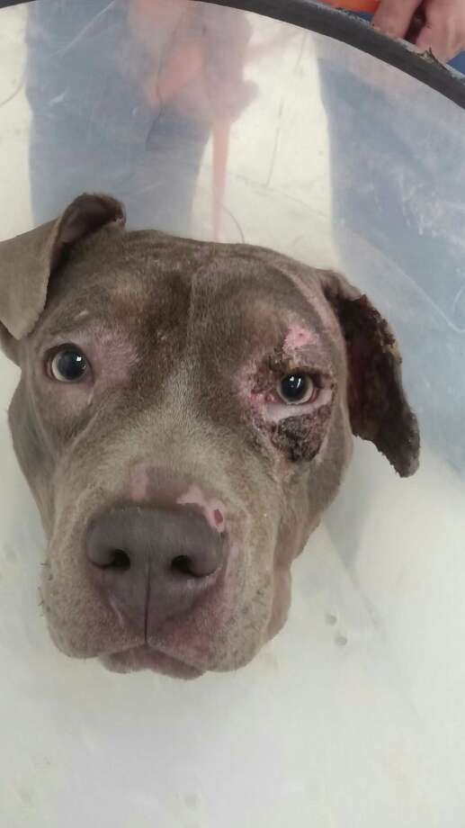 Roxy, a pit bull mix, was set on fire in February by a man who admitted on Friday that he poured rubbing alcohol on the dog and then ignited the chemical. (Saratoga County District Attorney's Office)