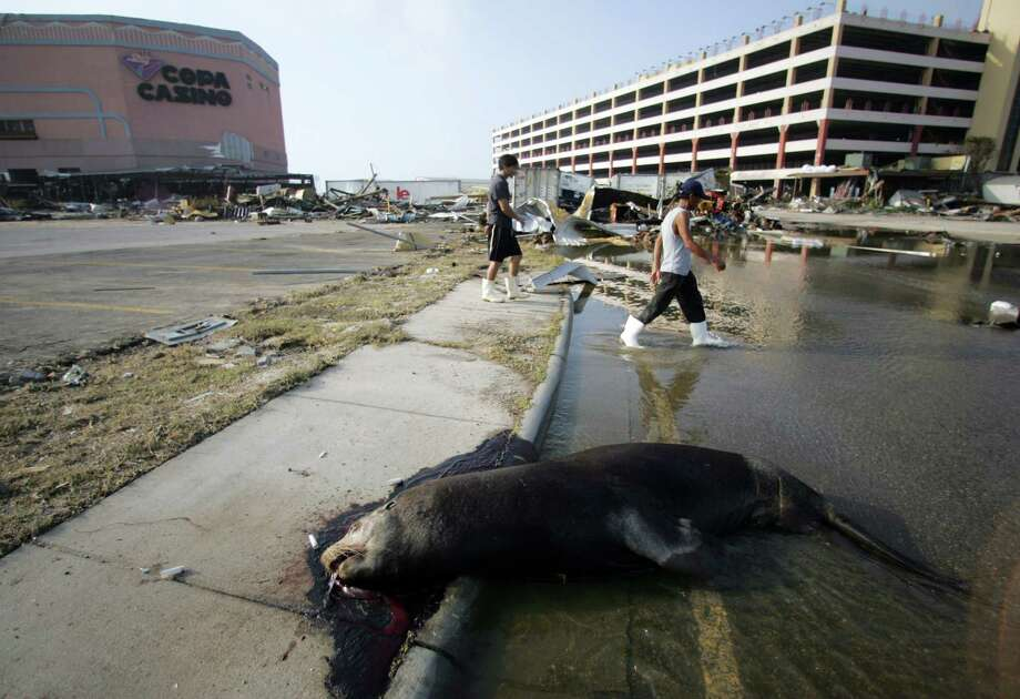 Residents of Gulfport, Miss., walk past a dead sea lion from a nearby aquarium as they survey the destruction caused by Hurricane Katrina. Photo: M. SPENCER GREEN, AP / AP