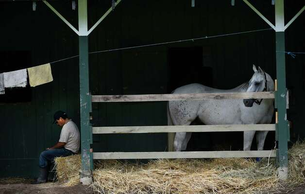 Under the watchful eye of a lead pony a groom has a little down time in the barn area of the main track of the Saratoga Race Course Friday morning Aug. 21, 2015.  (Skip Dickstein/Times Union) Photo: SKIP DICKSTEIN