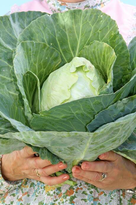 'Early Jersey Wakefield' cabbage is sweet, flavorful and relatively small, at about 2 pounds. Photo: Baker Creek Heirloom Seeds, RareSeeds.com