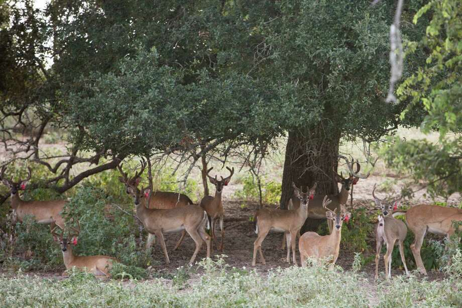 Deer captively bred in the state of Texas, like these Whiteteail Deer, are deemed to be wild animals and thus public property. With the discovery of chronic wasting disease in animals at a privately-owned Medina County breeding ranch, the state is able to confiscate all the deer on the premises if necessary. Photo: Carolyn Van Houten /San Antonio Express-News / 2015 San Antonio Express-News