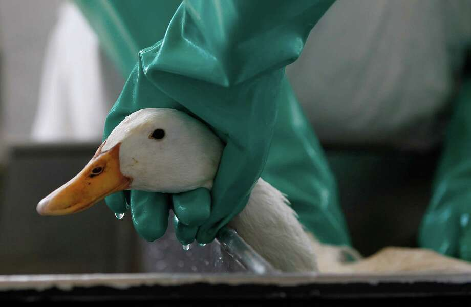 A white duck is held as participants in the Oiled Wildlife Response Workshop wash him at The Wildlife Center of Texas Friday, Aug. 21, 2015, in Houston.  The purpose of the workshop is to certify and train personnel that are interested in assisting The Wildlife Center of Texas Oiled Wildlife Response Team during a spill.  The workshop will cover topics such as the effects of oil on wildlife, initial intake and exam of oiled wildlife, an introduction to OSHA training, wildlife rehabilitation's role in Incident Command System, and actual hands on cleaning of oiled feathers in which participants will practice by washing an unoiled white duck. Photo: Karen Warren, Houston Chronicle / © 2015 Houston Chronicle