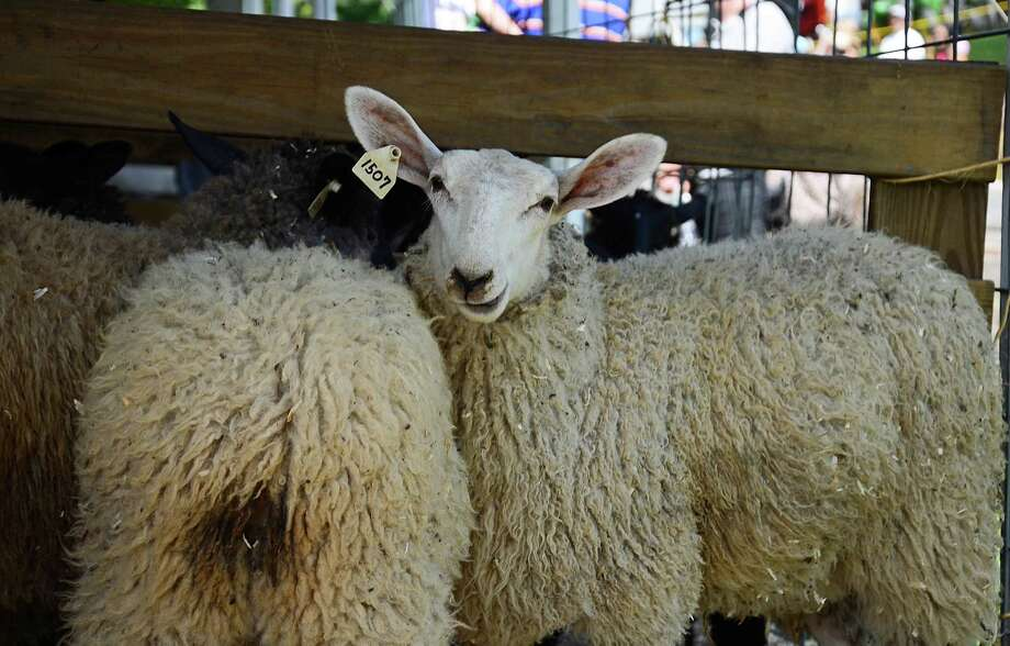 The 64th annual Bridgewater Country Fair featured a variety of animals, including sheep, cows, horses and rabbits. Saturday, Aug. 22, 2015. Bridgewater, Conn. Photo: Nelson Oliveira / Nelson Oliveira / The News-Times