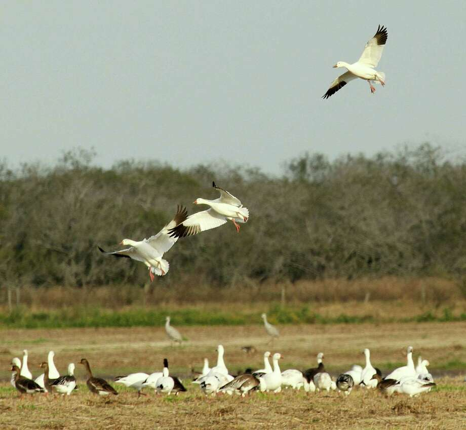 While record duck populations have Texas waterfowlers anticipating a very good 2015-16 duck season, reports of very low nesting success by mid-continent snow geese could mean goose hunters face a challenging fall and winter. Houston Chronicle photo by Shannon Tompkins Photo: Picasa