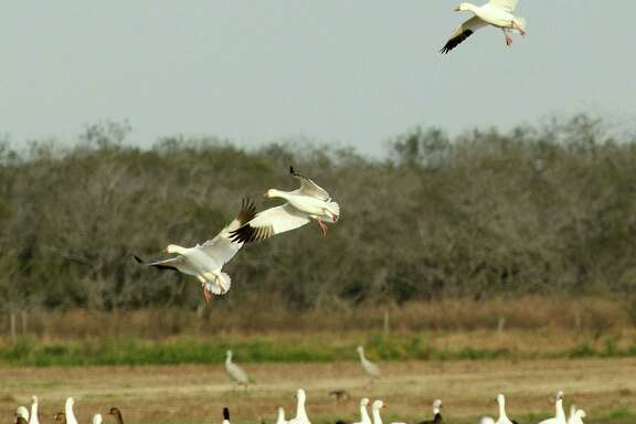 While record duck populations have Texas waterfowlers anticipating a very good 2015-16 duck season, reports of very low nesting success by mid-continent snow geese could mean goose hunters face a challenging fall and winter. Houston Chronicle photo by Shannon Tompkins