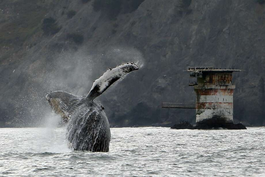 A humpback whale breaches west of the Golden Gate Bridge in San Francisco on Saturday, Aug. 22, 2015. Photo: Scott Strazzante, The Chronicle