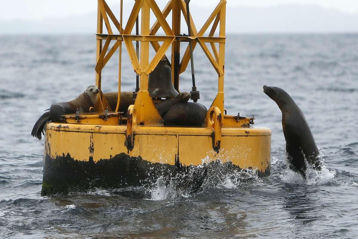Sea lions frolic near a buoy west of San Francisco, Calif., on Saturday, Aug. 22, 2015.
