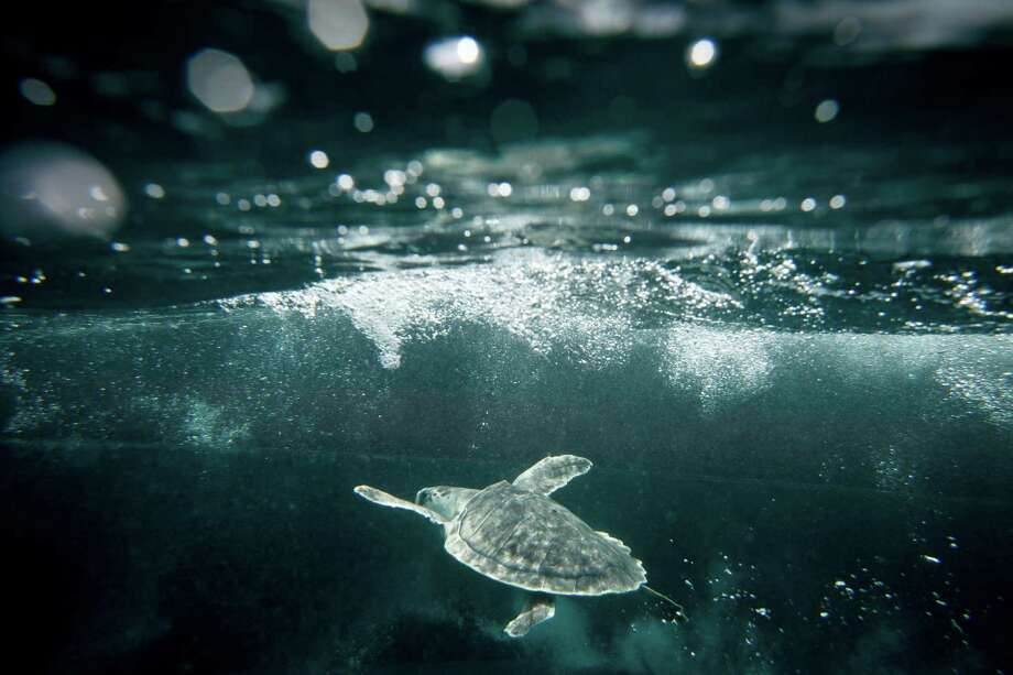 A Kemp's ridley sea turtle swims under the ocean after being released 20 miles off the coast of Galveston. Photo: Michael Paulsen /Houston Chronicle / Â 2011 Houston Chronicle