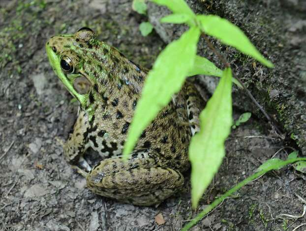 Frog on Thom Breitenbach's property where he's made a castle out of local stone which is also a wedding venue on Monday, Aug. 17, 2015 in Altamont, N.Y. He is also an artist and plans to leave the castle and his paintings as a museum when he dies. (Lori Van Buren / Times Union) Photo: Lori Van Buren / 00032981A