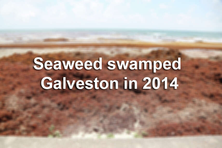 Seaweed swamped Galveston in 2014. Photo: File Photo
