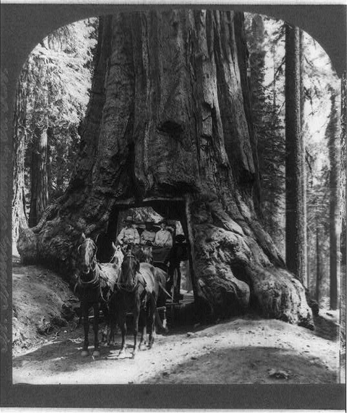 The famous Wawona tunnel tree in Mariposa Grove. A stage coach is seen passing through it from this 1905 stereograph.