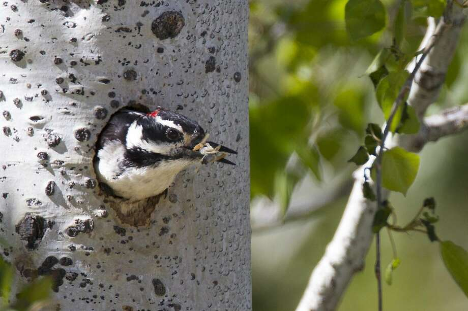 Hairy woodpecker, with lunch, pokes his head out of his hole in forest set at headwaters of American River, where The Nature Conservancy and American River Conservancy will manage a newly purchased 10,000 acres  to manage to protect from mega fires, improve water quality and quantity, wildlife habitat and recreation Photo: Bob Lewis