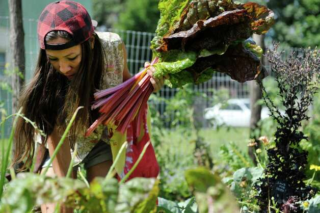 Azure  Keahi, environmental steward mentor and a lead gardener at the Sanctuary for Independent Media, picks rainbow chard in one of the lots owned by the Sanctuary for Independent Media, on Thursday, July 23, 2015, in Troy, N.Y.  The sanctuary has several lots that they are using to grow food and flowers.   (Paul Buckowski / Times Union) Photo: PAUL BUCKOWSKI / 00032644A