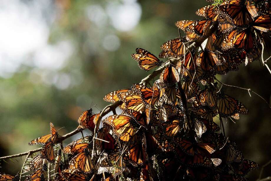 FILE - In this Jan. 4, 2015 file photo, a kaleidoscope of Monarch butterflies hang from a tree branch, in the Piedra Herrada sanctuary, near Valle de Bravo, Mexico. Illegal logging has almost tripled in the monarch butterfly's wintering grounds in central Mexico, reversing several years of steady improvements. Almost all of the loss occurred in San Felipe de los Alzati, in the state of Michoacan, over the past year, while little was lost in 31 other communities, according to a Tuesday, Aug. 25, 2015 announcement by the World Wildlife fund and the Institute of Biology of Mexico's National Autonomous University. (AP Photo/Rebecca Blackwell, File) Photo: Rebecca Blackwell, STF / Associated Press / AP