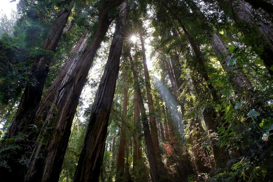 The sun shines through a grove of redwoods at Muir Woods in Mill Valley, Calif., on Tues. August 25, 2015. A new Stanford study is helping researchers to better understand Lyme and tick-borne diseases in the Bay Area. Not only are tick-borne infections more common and complex than expected, but the risk is higher in redwood forests than previously believed. Photo: Michael Macor, The Chronicle