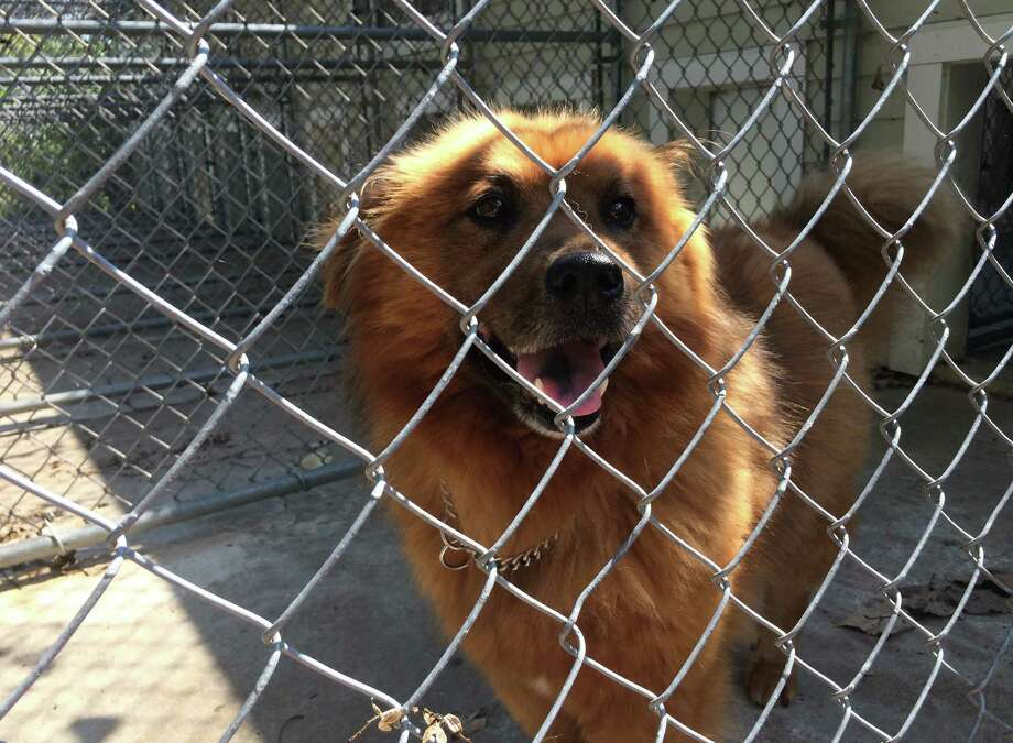 Chewbacca, or Chewy, lived in the woods of Guilderland by himself for eight months. He is a Chow mix. (Courtesy of Guilderland Animal Shelter)