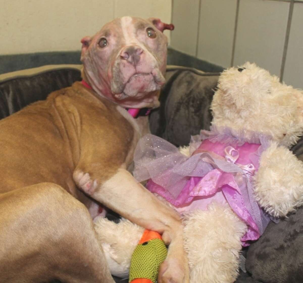 Rosie a 5-year-old pit bull was found with acid burns to her face near the end of July. These more recent photos show what she looks like in August 2015.