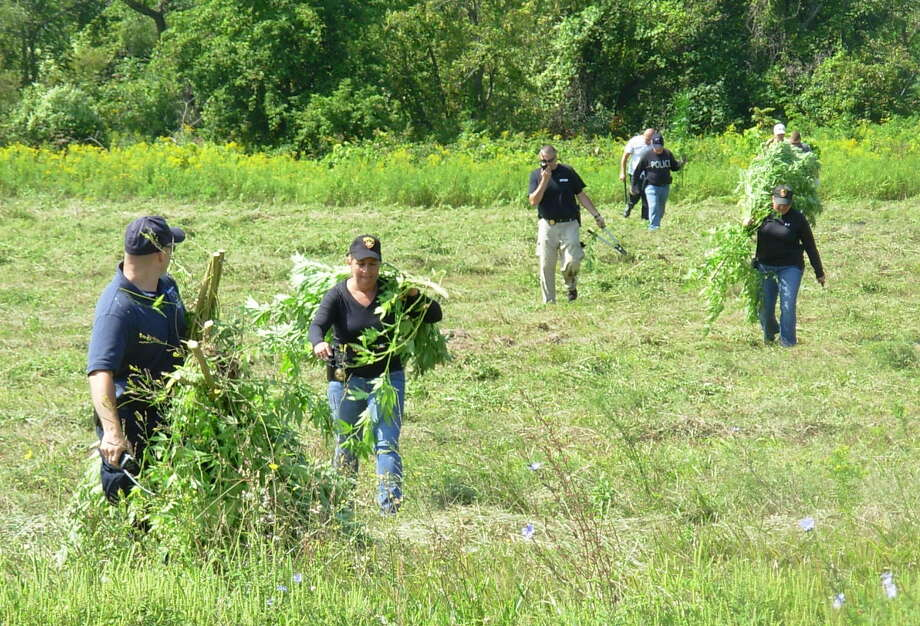 State Police in Fonda and Mayfield, along with local and state law enforcement agencies, removed marijuana plants growing illegally in Fulton and Montgomery Counties during August 2015. (State Police photo) Photo: Picasa