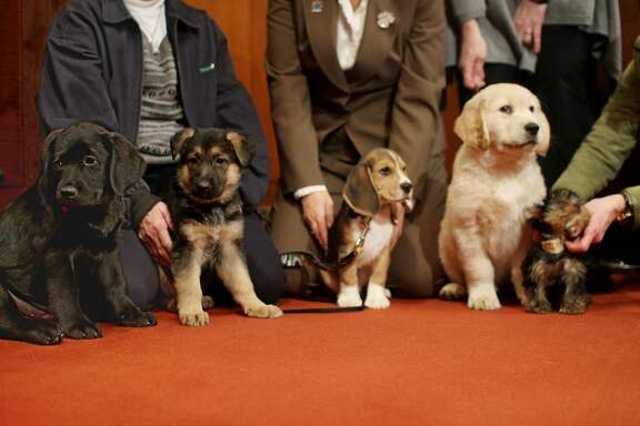 In this photo provided by the American Kennel Club, puppies representing the top five breeds according to the American Kennel Club are lined up in order at American Kennel Club headquarters in New York, Tuesday, Feb. 28, 2012. From left are the Labrador retriever; German shepard; beagle; golden retriever and Yorkshire terrier. (AP Photo/American Kennel Club, Kate McCroary)