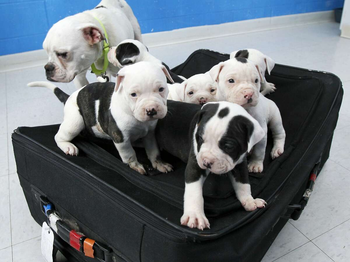 A sibling pair of champion-sire English bulldog puppies from a local breeder.