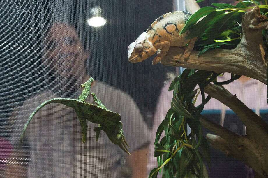 Chameleons are on display for sale at Repticon reptile and exotic animal convention at the Pasadena Convention Center and Fairground Saturday, Feb. 2, 2013, in Pasadena. ( Brett Coomer / Houston Chronicle ) Photo: Brett Coomer, Houston Chronicle / © 2013 Houston Chronicle
