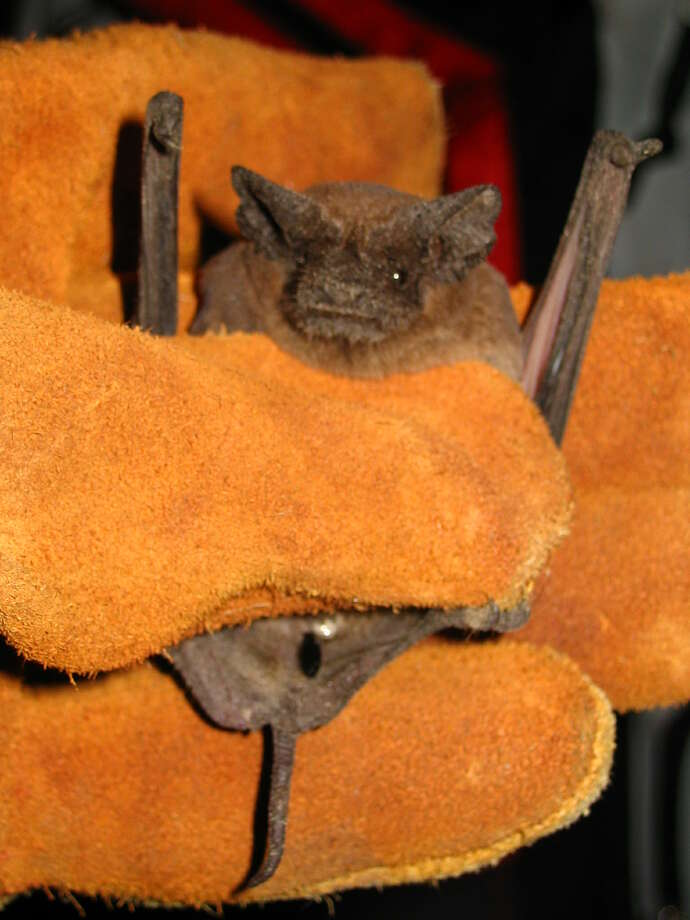Your friendMore than 70 percent of bat species subsist on insects. One little brown bat can eat 1,000 mosquitoes in an hour. Photo: Craig S. Hood, HONS / Loyola University New Orleans