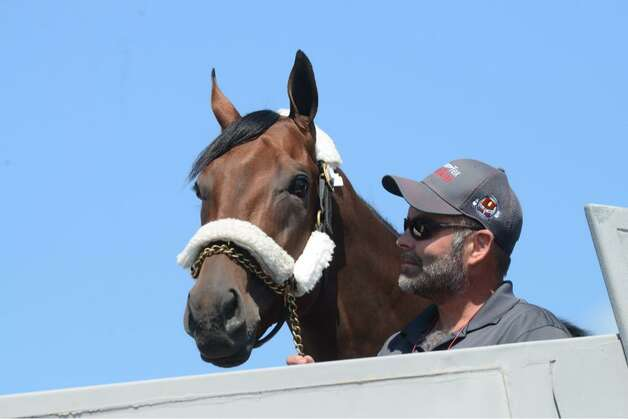 Triple Crown winner American Pharoah takes a look around after arriving at Albany International Airport on Wednesday. The thoroughbred is headed to Saratoga Race Course where he'll run in the Travers Stakes on Saturday. (Will Waldron / Times Union)
