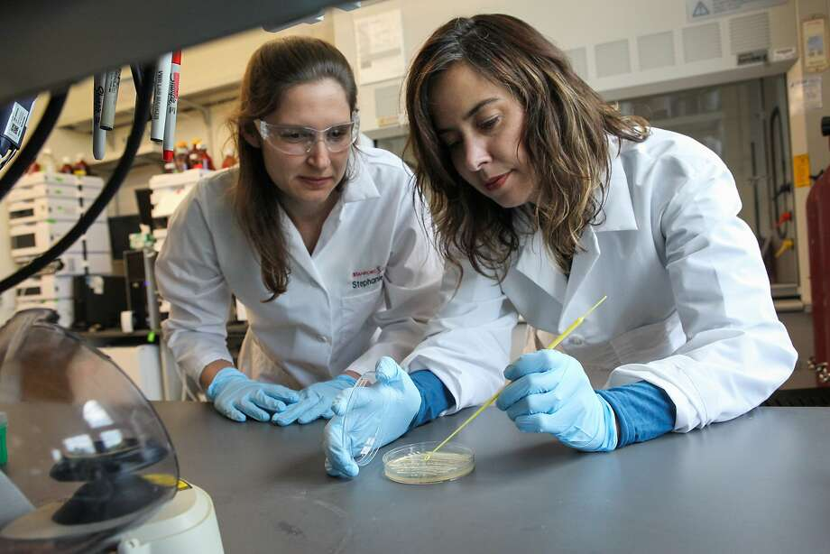 Above: Biological engineer Christina Smolke (right) and graduate student Stephanie Galanie create opioid compounds at Smolke's Stanford lab. Below: Galanie streaks genetically modified yeast to create the compounds. Photo: Gabrielle Lurie, Special To The Chronicle