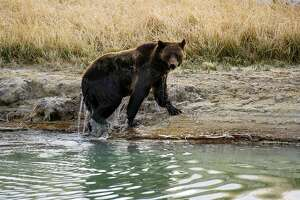 Disappointed visitors ask Yellowstone to 'train your bears' better - Photo