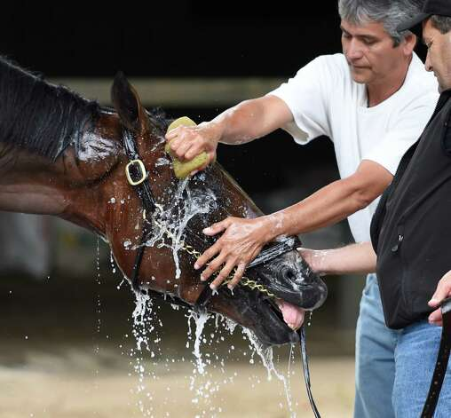 American Pharoah gets bathed by his groom Eduado Luna after his arrival at the Saratoga Race Course Wednesday afternoon Aug. 26, 2015 in Saratoga Springs, N.Y.       (Skip Dickstein/Times Union) Photo: SKIP DICKSTEIN