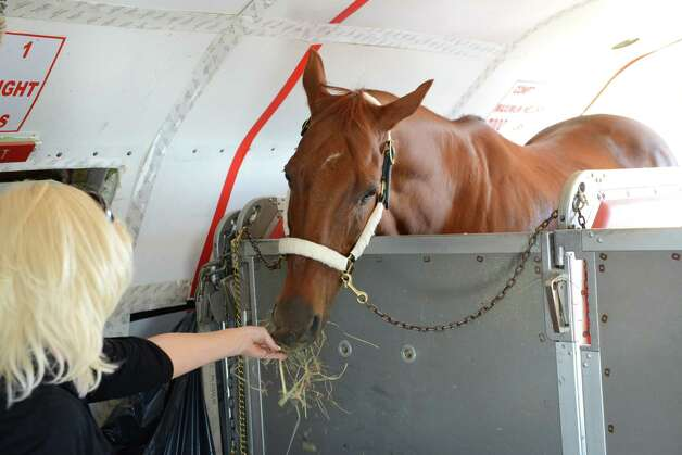 Funny Cide, the New York state-bred thoroughbred who the Kentucky Derby and Preakness Stakes 2003, is fed some hay aboard a Boeing 727-200 equine transport plane by Malisha Payne after arriving at Albany International Airport on Wednesday  Aug. 26, 2015, in Colonie, N.Y. Funny Cide was on the plane with Triple Crown winner American Pharoah. Both are bound for Saratoga Race Course where Pharoah will run in Saturday's Travers Stakes. Funny Cide was stabled next to Smokey, American Pharoah's companion pony, for the Lexington leg of the journey. (Will Waldron / Times Union) Photo: WW / 00033098A