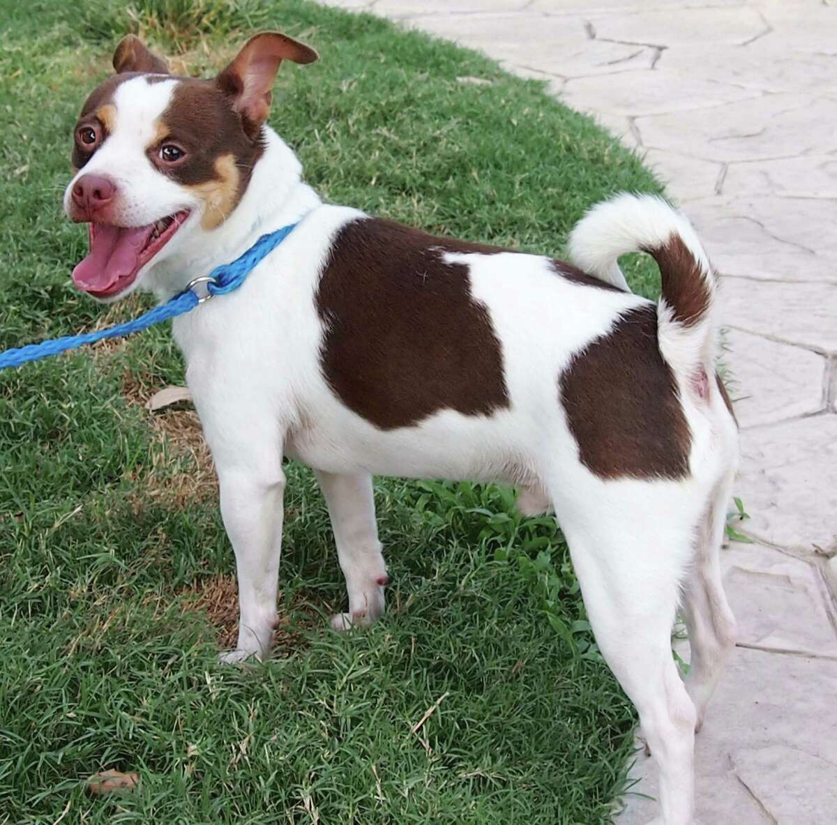 Freddie, a 1-year-old Boston Terrier / Miniature Pinscher, will be available for adoption at 11 a.m. Friday at Citizens for Animal Protection, 17555 I-10 W. More information: cap4pets.org or 281-497-0591.