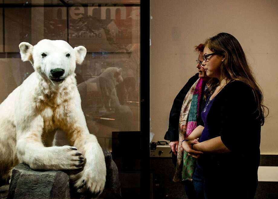 A model of polar bear Knut is on display at the Museum Naturalis in Leiden, in the Netherlands on June 13, 2013. According to reports, Knut's body was not stuffed, but its fur was used in the sculpture. The polar bear, on loan from the Museum fur Naturkunde (MfN) in Berlin, is exhibited at the museum until September 1. Knut achieved world-wide fame in Berlin Zoo until his untimely death in 2011.  Photo: AFP/Getty Images