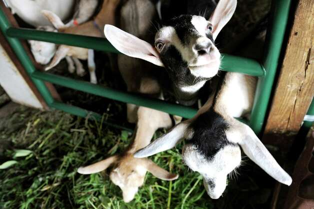 Goats feed on greens in the barn on Wednesday, July 22, 2015, at the Beekman 1802 farm in Sharon Springs, N.Y. (Cindy Schultz / Times Union) Photo: Cindy Schultz / 00032576A