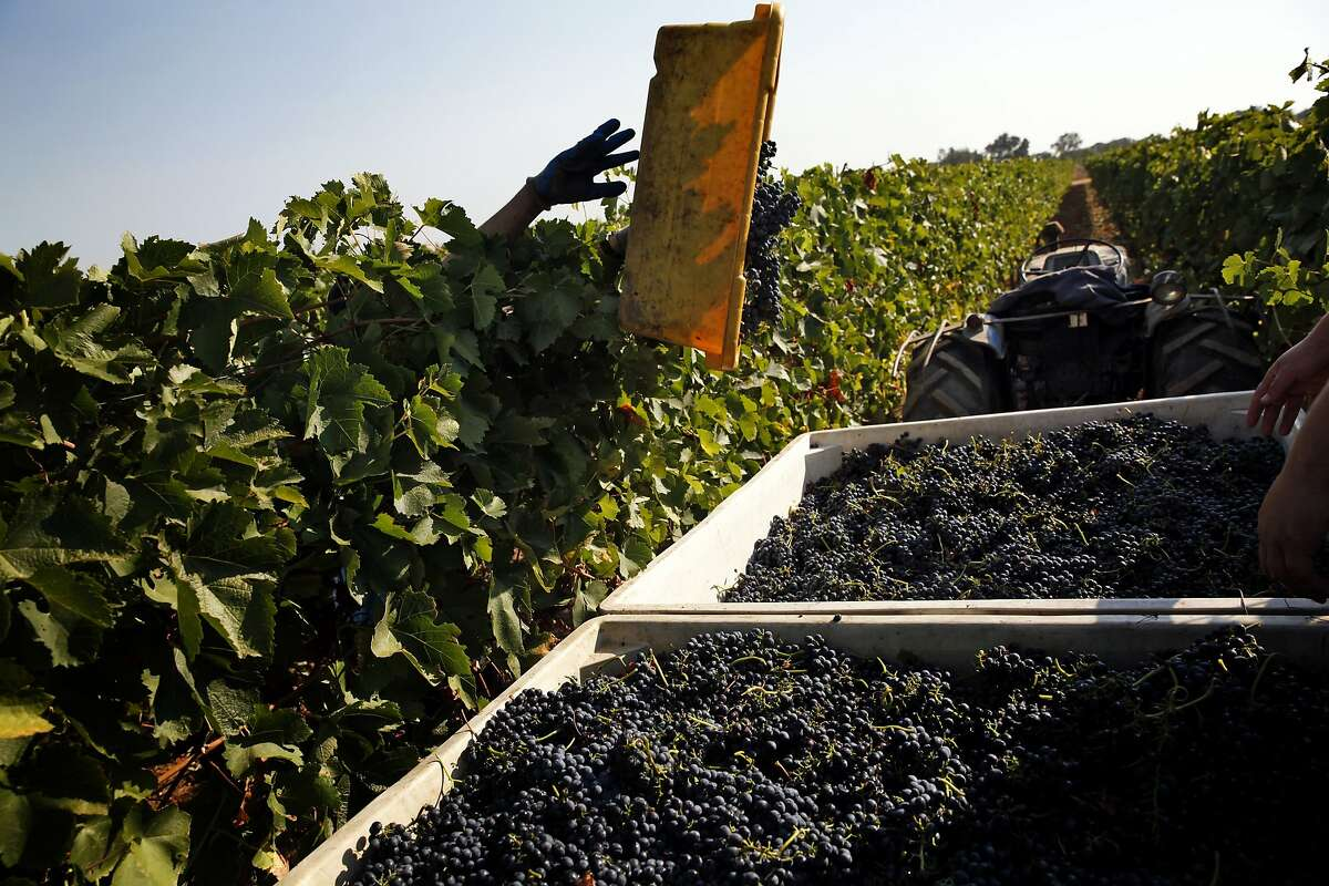 Workers harvest Syrah grapes at Borra Vineyards in Lodi, Calif., on Thursday, August 20, 2015.