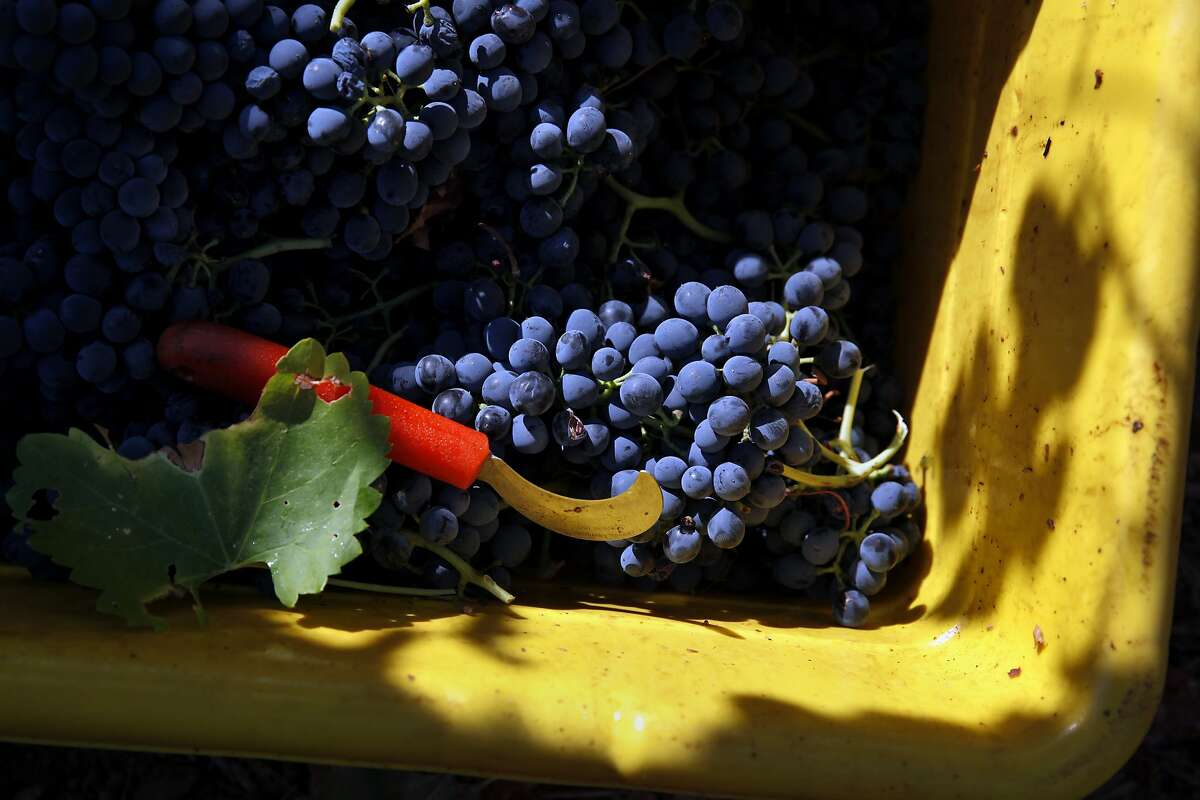 Recently harvested Syrah grapes at Borra Vineyards in Lodi, Calif., on Thursday, August 20, 2015.