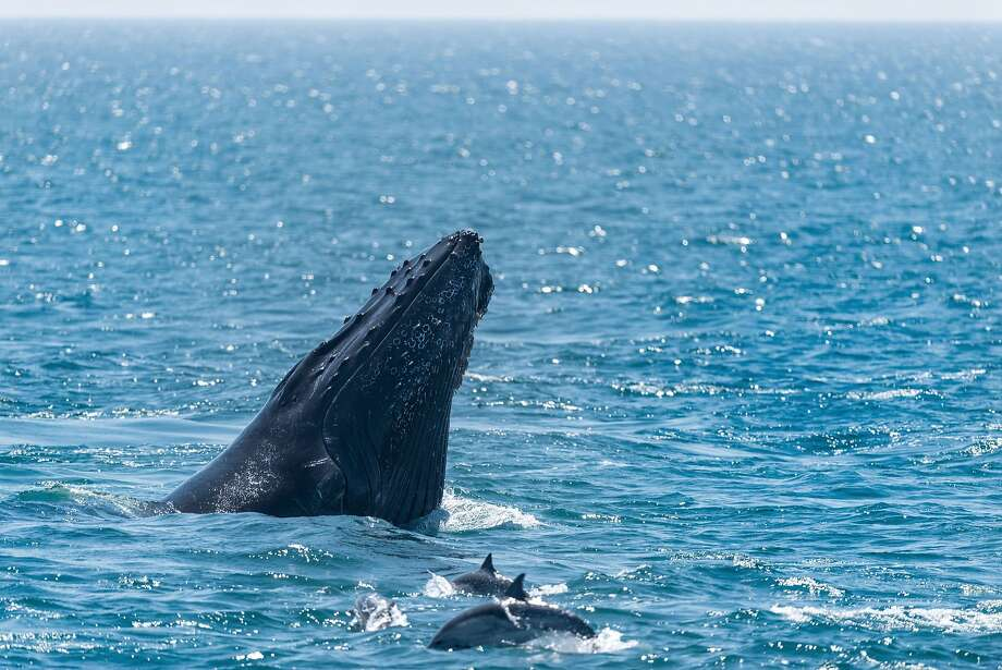 Programme Name: Big Blue Live - TX: 27/08/2015 - Episode: n/a (No. 2) - Picture Shows: A humpback whale in Monterey Bay, California, where the BBC are filming natural history series, Big Blue Live.   - (C) Monterey Bay Aquarium - Photographer: Tyson V Ringer Photo: Tyson V Ringer