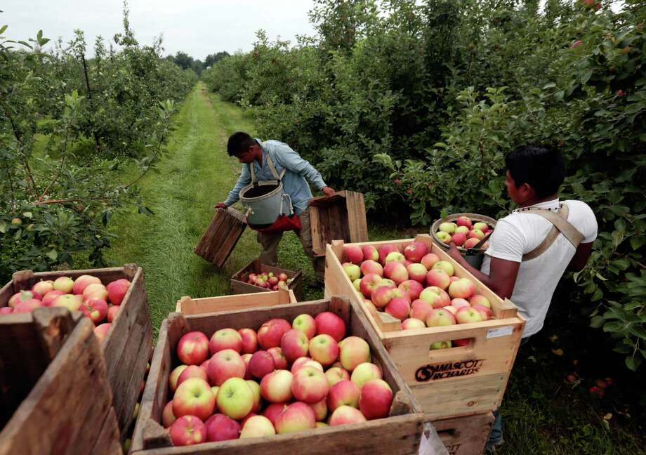Workers harvest early apples at Samascott Orchards in Kinderhook, N.Y. The economy as measured by gross domestic product expanded at an annual rate of 3.7 percent in the April-June quarter, the Commerce Department reported Thursday. Photo: Mike Groll /Associated Press / AP
