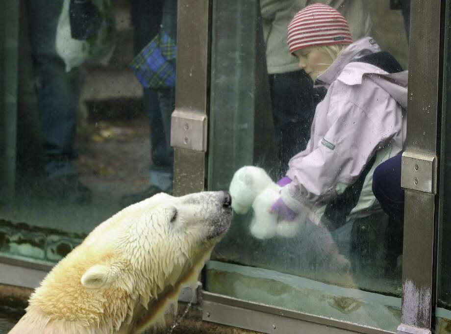 Knut the polar bear was visited by 11 million people at the Berlin Zoo before his death from an autoimmune disorder in March 2011.  Photo: ODD ANDERSEN, Staff / AFP