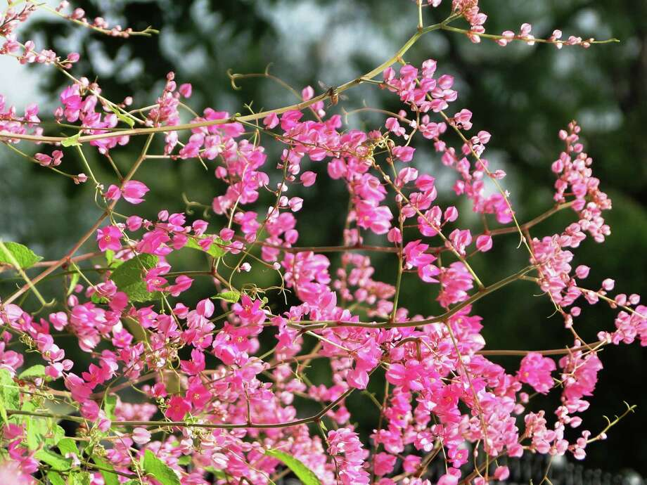 Coral vine, aka queen's crown, (Antigonon leptopus) is a fast-growing vine with cascades of bright pink flowers set against bright green heart-shaped leaves. Photo: Tracy Hobson Lehmann, Staff / San Antonio Express-News