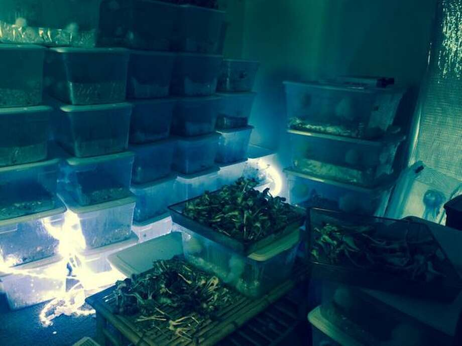 Austin police seized dozens of illegal psychedelic mushrooms from a house just around the corner from Berkeley Methodist Child Care Center and Cunningham Elementary School on Thursday. Photo: Austin Police Department